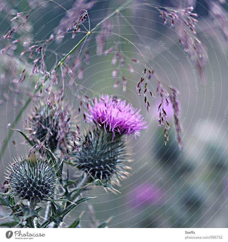 blühende Distel und blühendes Gras in Schottland Distelblüte nordisch nordische Romantik nordische Wildpflanzen schottischer Sommer nordische Natur