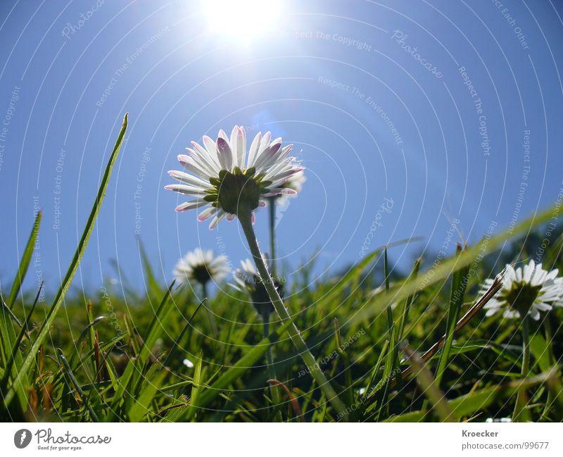Gänseblümchen Natur blau weiß grün schön Pflanze Sonne Blume ruhig Leben Wiese Gras Frühling klein Zufriedenheit frei
