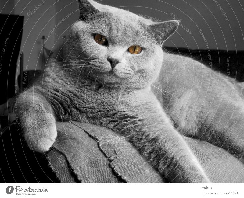 Katze III Hauskatze Raubkatze Tier Säugetier Kartäuser cat animal pet