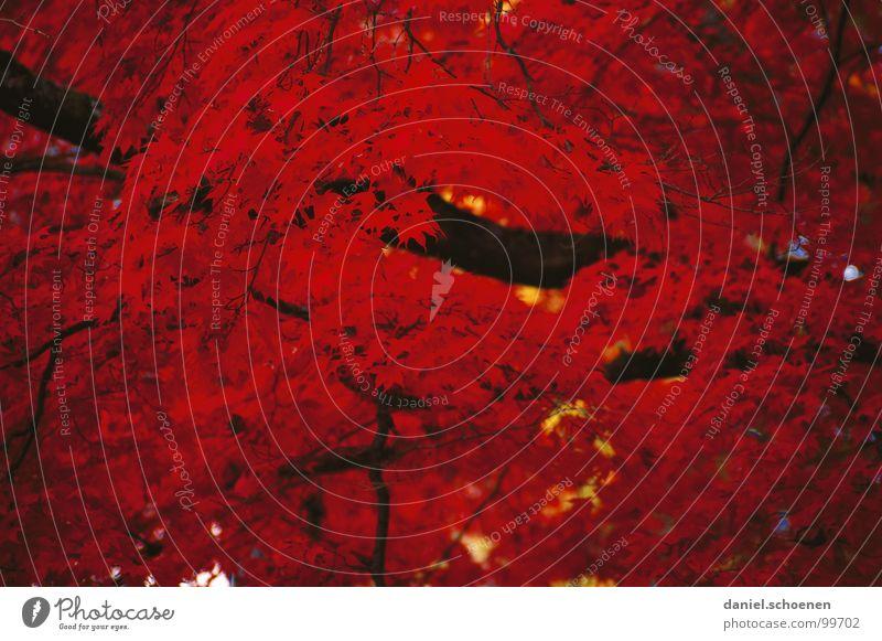 ziemlich rot Natur Baum rot Blatt Farbe Herbst Garten Park Hintergrundbild Ast Vergänglichkeit Ahorn Finale