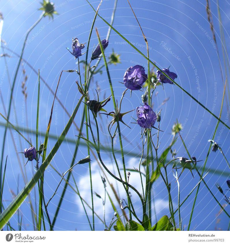 in der wiese Wiese Blume Glockenblume Halm Gras Stengel Wolken Froschperspektive Aussicht streben Wachstum grün Pflanze Insekt Sommer Sommertag Ausflug Blüte