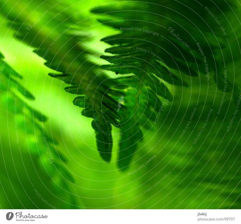 Let's have Farn Natur grün Pflanze dunkel Frühling Wachstum weich berühren zart feucht sanft Biologie Echte Farne Sporen