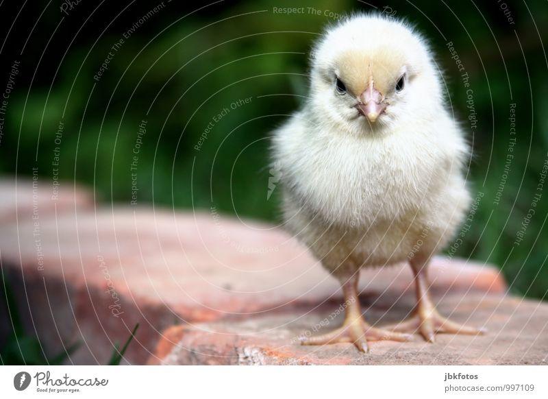CHICKEN-WALK Umwelt Natur Tier Haustier Nutztier Tiergesicht Flügel Krallen Küken Haushuhn Hahn 1 Tierjunges Kindheit Kitsch schön klein angry bird Geborgenheit