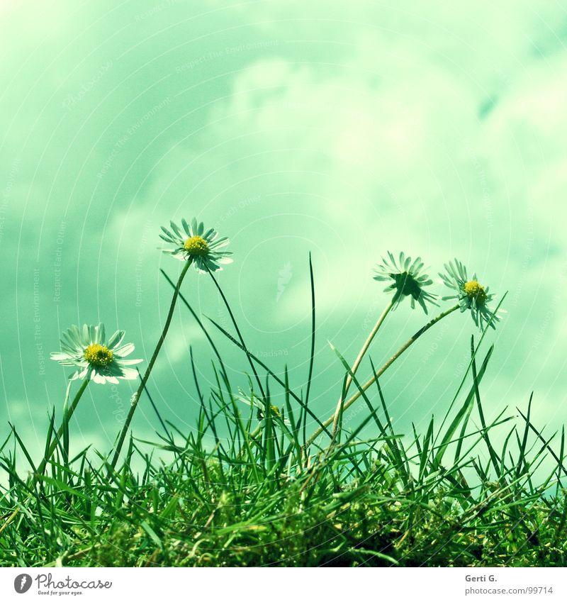 saydi grün weiß Blume Wolken Freude gelb Blüte Wiese Gras frisch Fröhlichkeit Perspektive Rasen Stengel Gänseblümchen Margerite
