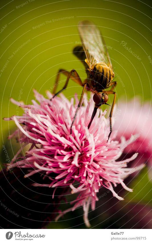 Vegetarische Stechmücke Insekt Rüssel lang stechen saugen Mahlzeit Kosten Staubfäden Blüte lecker Ernährung Nektar Appetit & Hunger Lebensmittel Stich