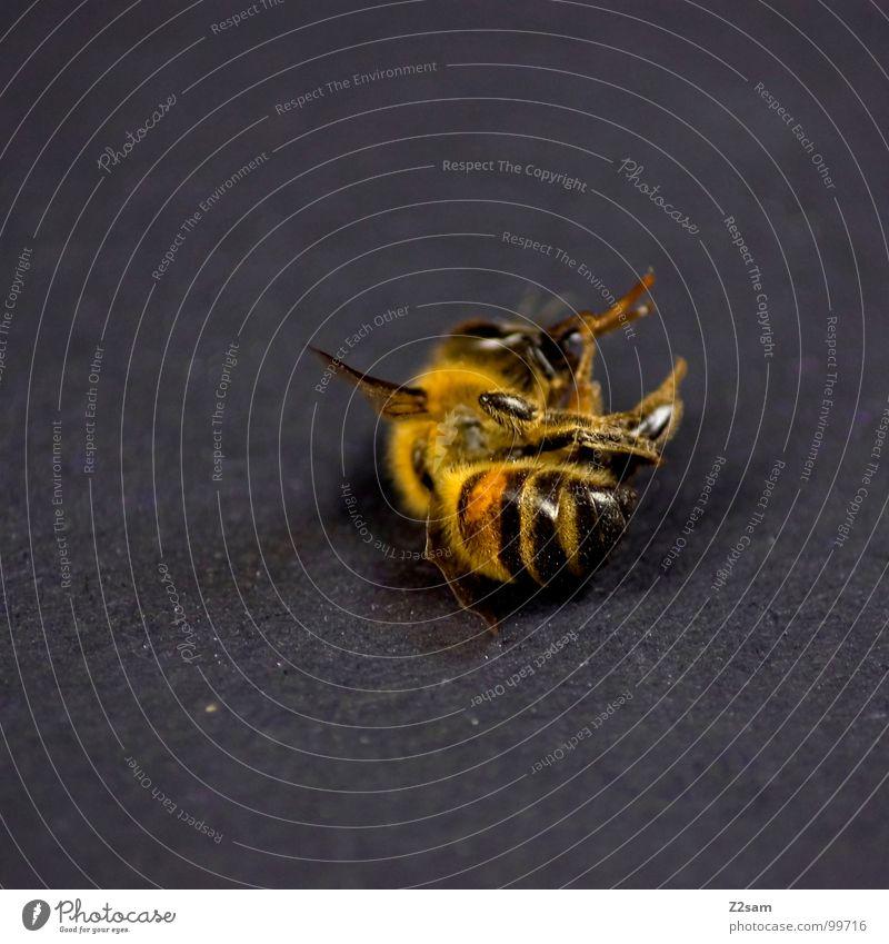 müde? Biene Insekt stechen Wespen Beine schwarz Unschärfe gelb gestreift Schwanz auf dem Rücken Tod Müdigkeit fliegen Flügel Makroaufnahme Hinterteil Auge