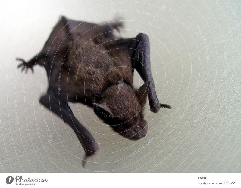 ...ich beiss auch nicht. Fledermäuse Krallen Ohr Fell Vampir Säugetier Fuß Nase Haut Flügel Maus Stechmücke