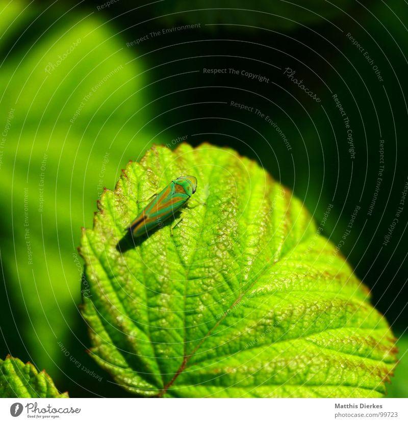 TARNUNG Insekt Pflanze Blatt Sommer Tarnung Tarnfarbe grün rot knallig Unschärfe Sonnenbad Feindschaft Aufenthalt Pause Zikade Heuschrecke getarnt knallen