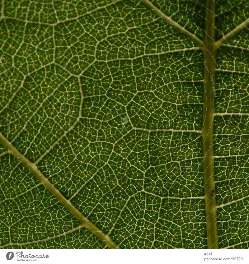 Das Blatt 15 Pflanze grün Botanik Pflanzenteile Kletterpflanzen pflanzlich Umwelt Sträucher Gegenlicht Hintergrundbild Baum nah Photosynthese Gefäße