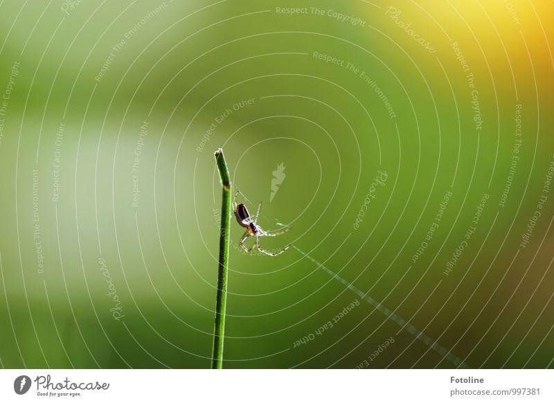 Tekla Tier Spinne 1 frei hell klein natürlich grün Halm Spinnennetz spinnen Spinnenbeine Insekt Farbfoto mehrfarbig Außenaufnahme Nahaufnahme Menschenleer