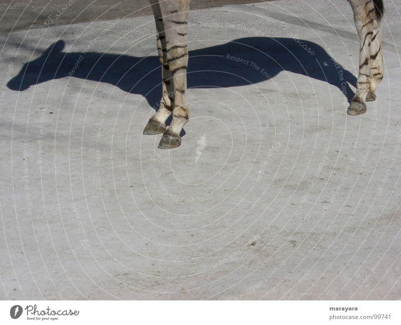 Schatten seiner selbst Wärme Beton Pferd Asphalt Physik heiß Zoo Schönes Wetter Säugetier Zebra