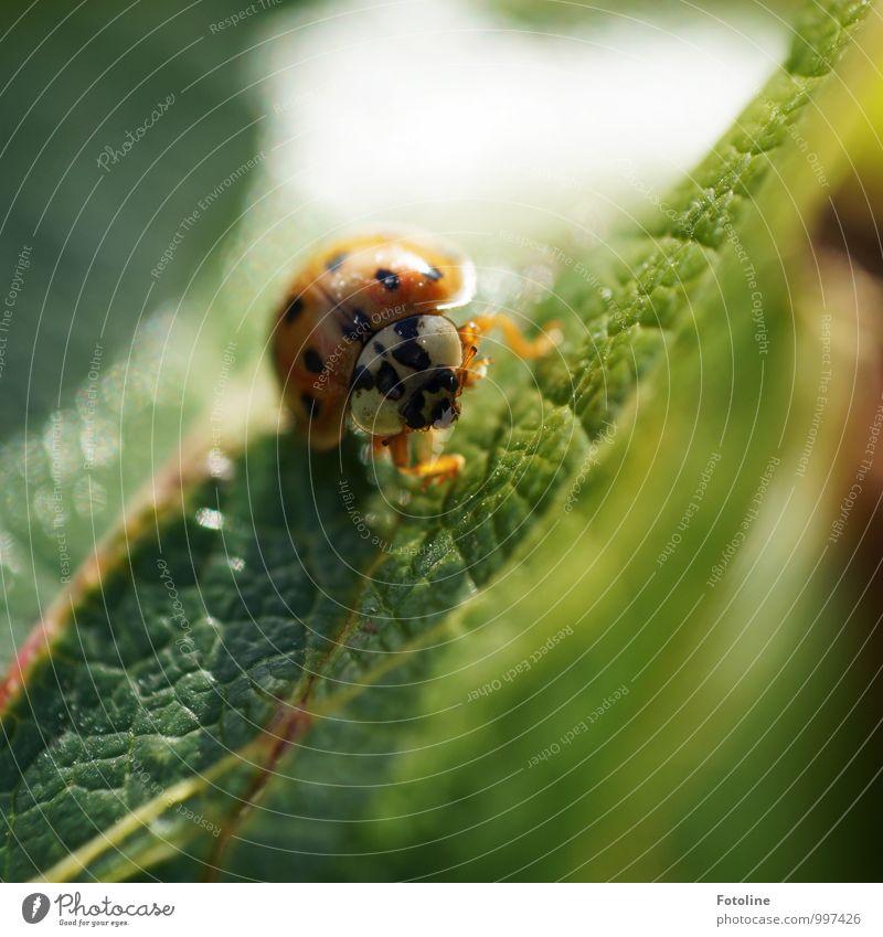 Viel Glück Anne! Umwelt Natur Pflanze Tier Sommer Schönes Wetter Blatt Käfer 1 frei hell klein natürlich grün orange schwarz Marienkäfer krabbeln Farbfoto