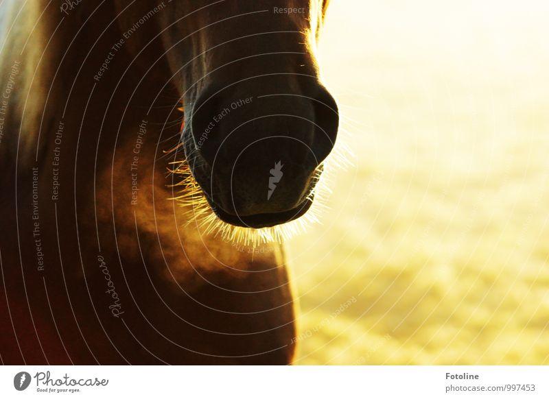 kalt ist's Umwelt Pflanze Herbst Tier Haustier Nutztier Pferd Fell 1 hell nah natürlich braun gelb gold Schnauze Nüstern Maul Farbfoto mehrfarbig Außenaufnahme