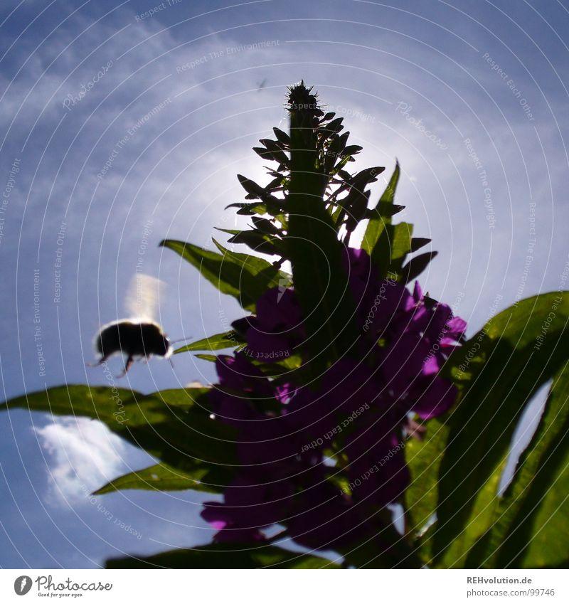 dicker brummer Blume Wiese Gegenlicht Blüte Sommer Insekt Staubfäden Sammlung Wolken grün violett Hummel Froschperspektive leicht kommen Erreichen Ernährung