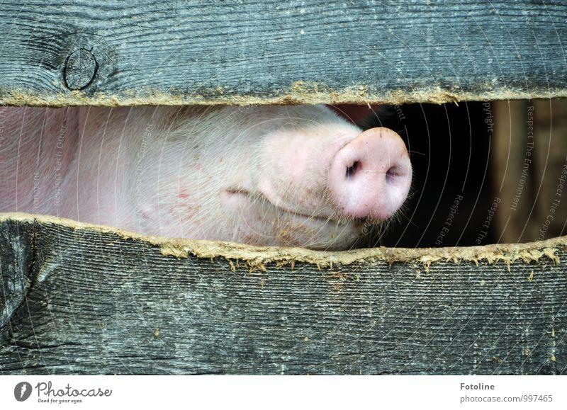 Schweinchen Babe Natur Tier Umwelt natürlich hell Fell Tiergesicht Maul Nutztier Stall Holzzaun Schweinekopf Schweinschnauze