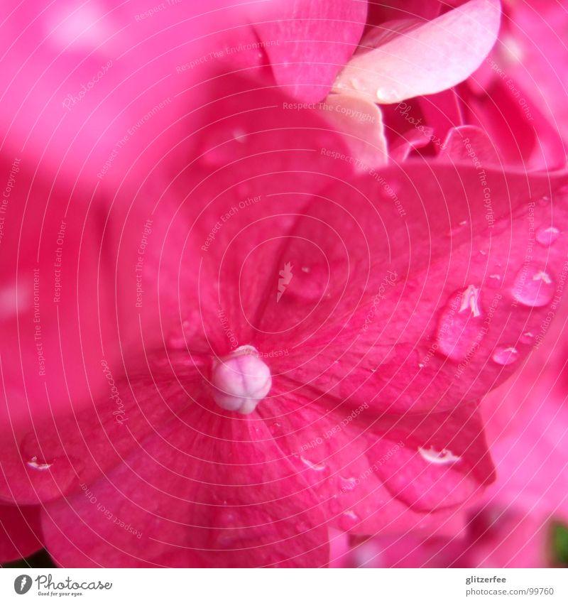 rosenbäumchen Hortensie rosa rot purpur Sommer Blüte prächtig Unschärfe Blütenblatt Fee Makroaufnahme Nahaufnahme Wasser Wassertropfen tröpfchen Seil Regen