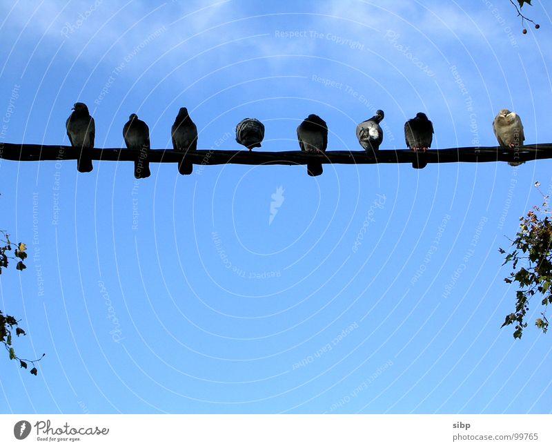 Stangensitzer Taube Stab Kabel hocken schlafen sprechen Vogel Reinigen Langeweile Kommunizieren Leitung sitzen langweilen Himmel blau