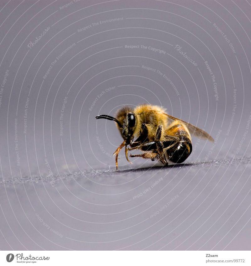 morgengymnastik schwarz Auge gelb Tod Beine Rücken fliegen liegen Flügel Insekt Hinterteil Biene Müdigkeit gestreift Schwanz stechen