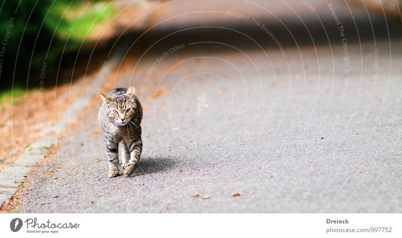 cat-walk Tier Haustier Katze Tiergesicht Fell Krallen Pfote 1 Stein beobachten Bewegung Blick grau silber Neugier Farbfoto mehrfarbig Außenaufnahme Tag Licht