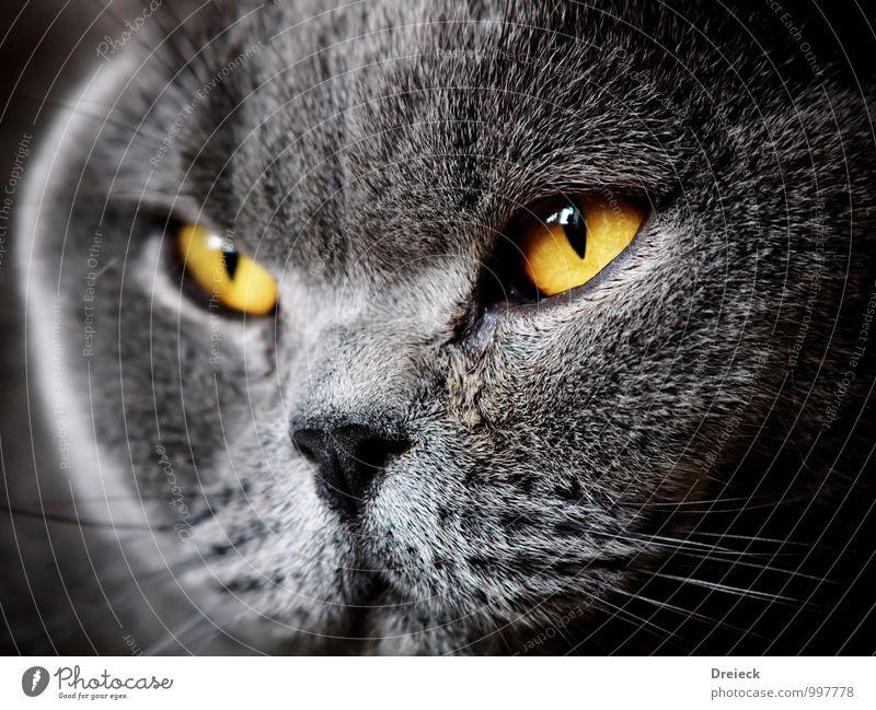 Dickkopf Tier Haustier Katze Tiergesicht Fell 1 Blick gelb gold grau Farbfoto Schwache Tiefenschärfe Tierporträt Blick nach vorn