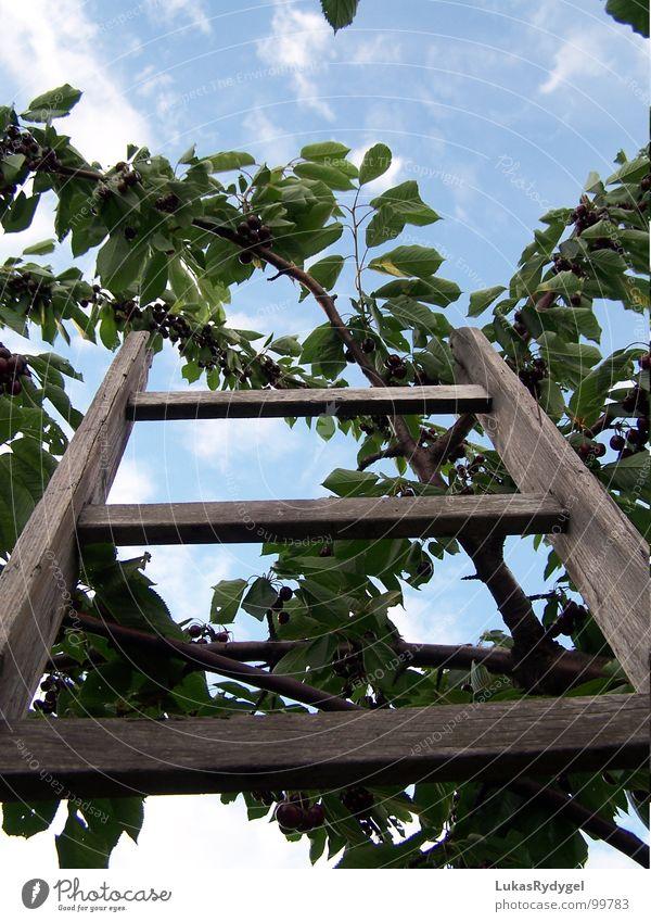 Die Besteigung Kirsche Baum Geäst Blatt Holz wackelig trocken Leitersprosse Sommer Himmel Ast blau alt Freiheit gefährlich Niveau oben Frucht Treppe