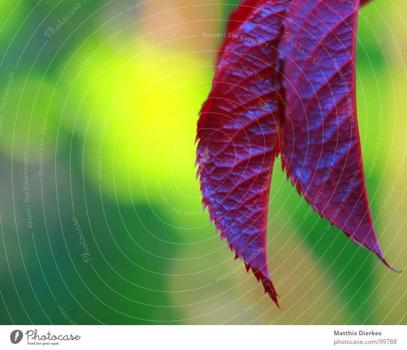 ZANGE Natur schön Sommer Blatt gelb Leben violett knallig übersättigt Vor hellem Hintergrund