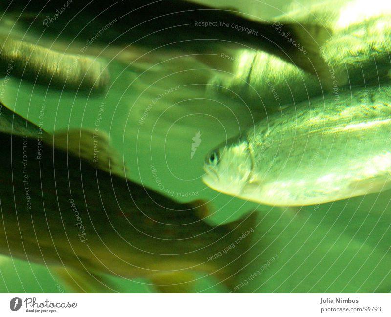 Forellen Regenbogenforelle Bachforelle Unterwasseraufnahme Aquarium Fischschwarm Umwelt See glänzend Strukturen & Formen grün Natur Mensch und Tier tief Wasser