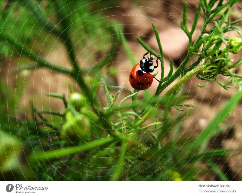 Marienkäfer im Mai Natur grün rot Pflanze Sommer Blume Tier Freiheit Frühling Beine braun klein Erde Feld Sträucher Insekt