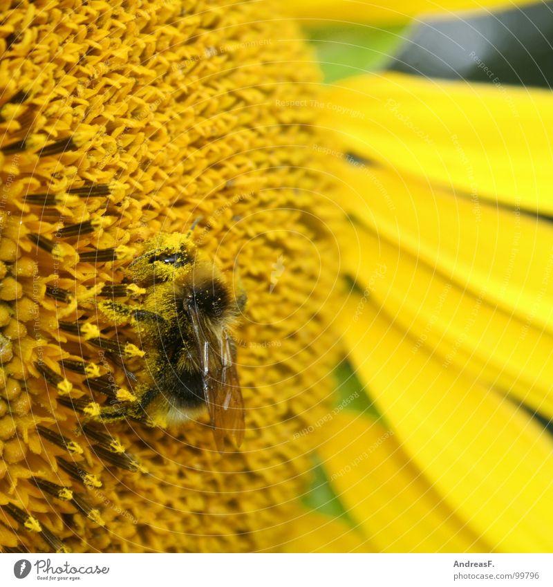 Arbeitsbiene Biene Hummel Blume Blüte Pollen Honig Staubfäden Imker gelb Sonnenblume Sommer Insekt Honigbiene Nektar Makroaufnahme bestäuben bienchen