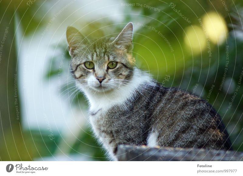 Katerchen Umwelt Natur Pflanze Tier Sommer Schönes Wetter Sträucher Garten Park Haustier Katze Tiergesicht Fell 1 nah natürlich Neugier grau grün weiß Hauskatze