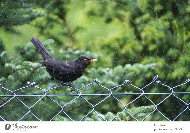 außergewöhnlich | laut im Sommer ;-) Umwelt Natur Pflanze Baum Sträucher Garten Park Tier Wildtier Vogel Flügel 1 nah natürlich Neugier grün schwarz Amsel