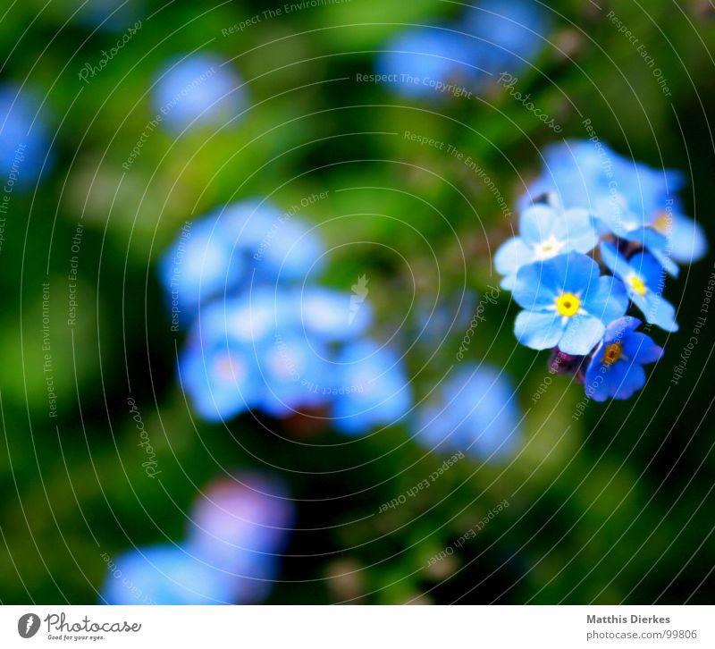 SHINING III Blume Blüte Unschärfe glänzend schimmern Schweben schwarz gelb Vergißmeinnicht Balkon Pflanze atmen Luft Gras grün Wiese Leuchtstoff Atom Sommer