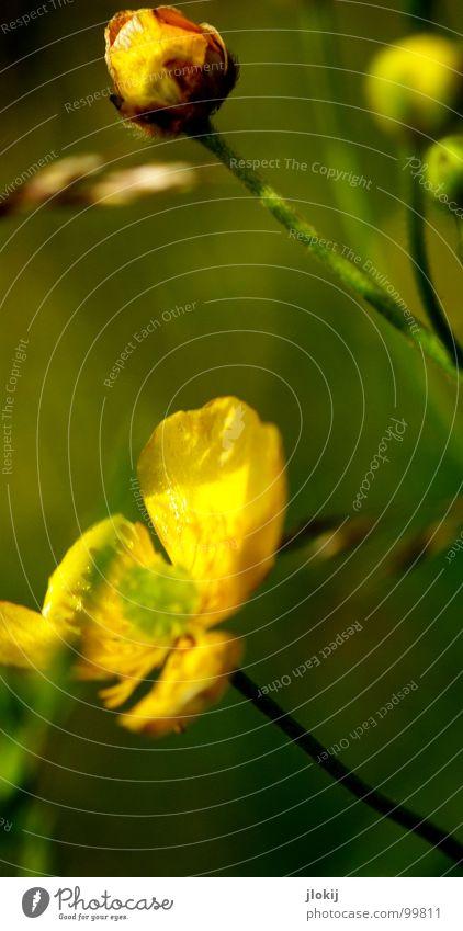 Butter bei de Blümsche Hahnenfuß Pflanze Blume Blüte Stengel grün gelb Strahlung Gras Blühend Wachstum Wiese Bedecktsamer Freundlichkeit Fröhlichkeit Lampe
