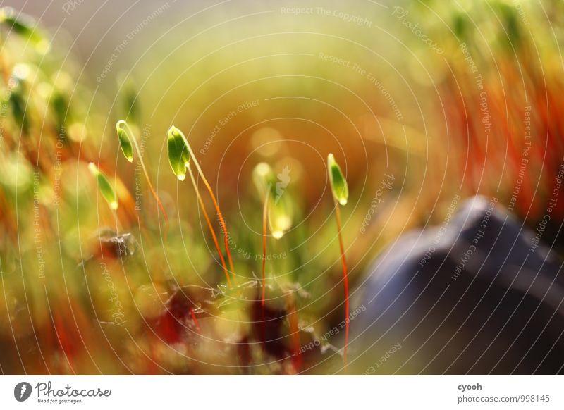 Laterne, Laterne... Natur Landschaft Pflanze Frühling Sommer Herbst Moos Garten Wald leuchten Wachstum Freundlichkeit Fröhlichkeit frisch hell klein nah saftig