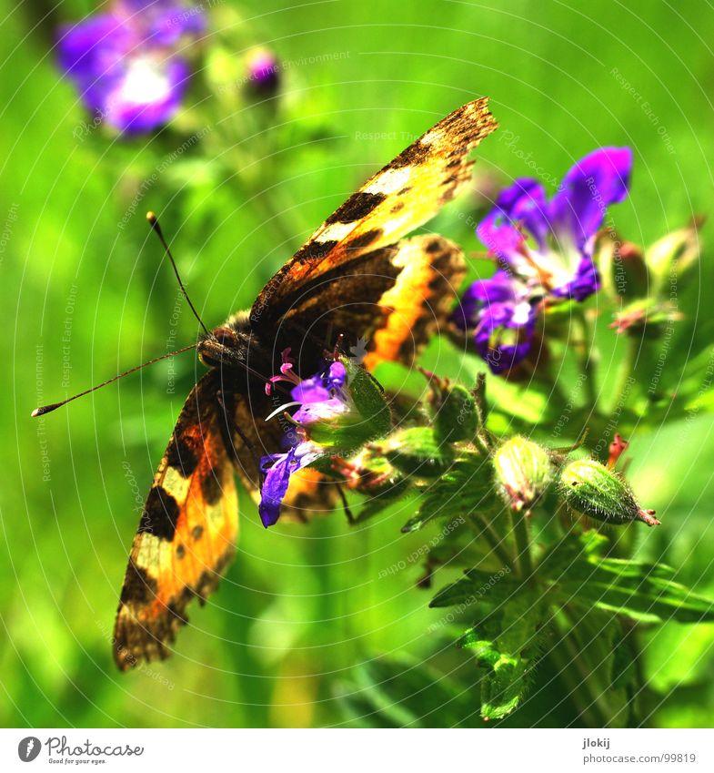 Zerschmetterling III Schmetterling Muster Insekt flattern Fühler Blume Blüte Staubfäden Sammlung Stengel Pflanze Ernährung violett Tier Frühling Unbeschwertheit