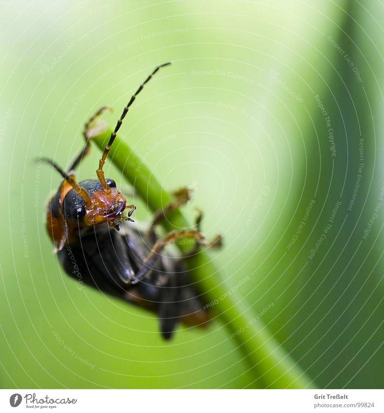 Schau, so geht das! Insekt Wiese Halm grün Körperhaltung Käfer Blick Rasen