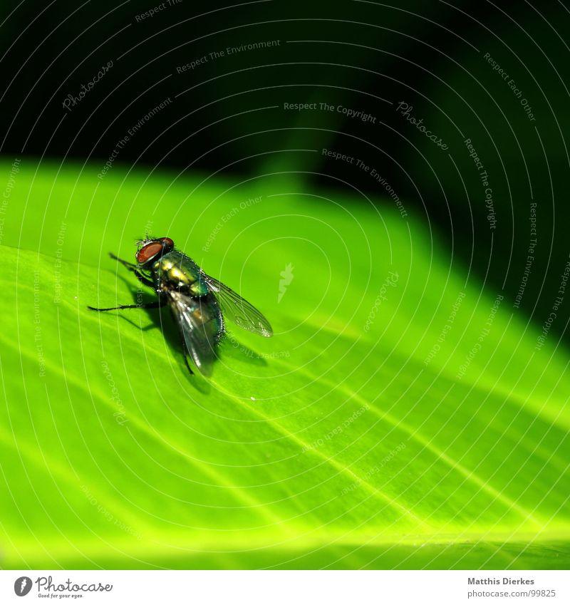 QUATSCH, SO GEHT DAS! grün Sommer Tier Blatt klein fliegen warten Fliege Beginn Flügel Pause Reinigen Lebewesen Biene Insekt Sonnenbad