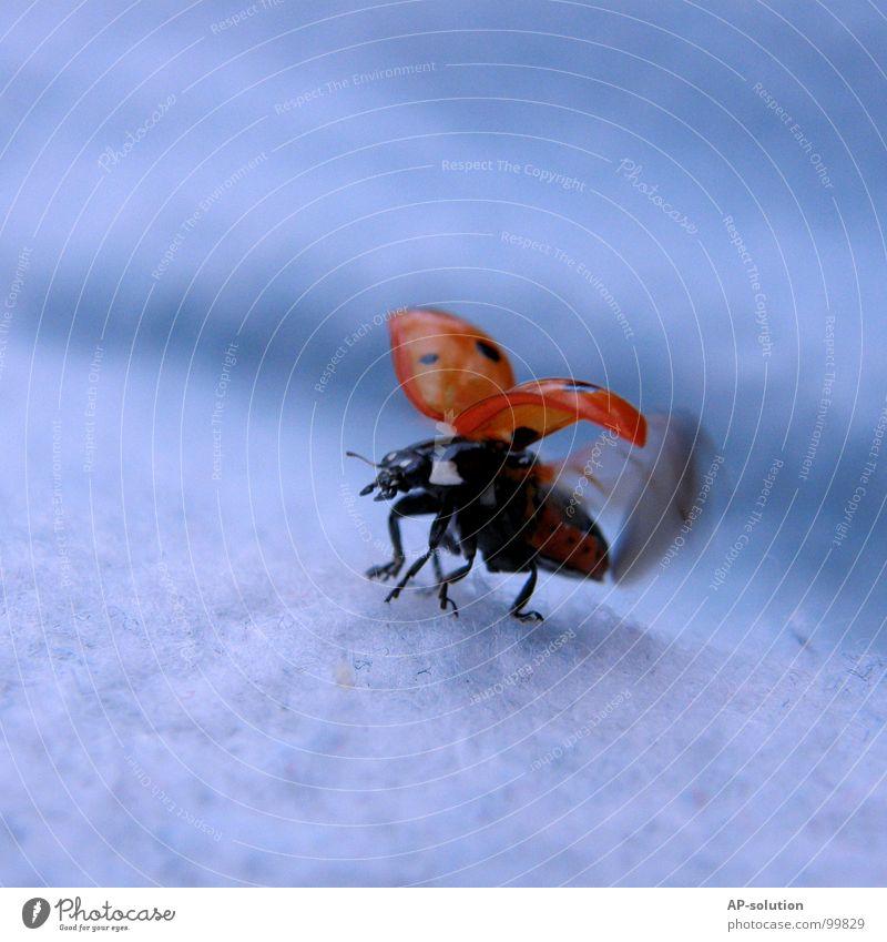 Marienkäfer beim Durchstarten Glück Erfolg Natur Tier Gras Käfer Flügel Bewegung fliegen krabbeln laufen klein Geschwindigkeit blau rot schwarz Beginn Insekt