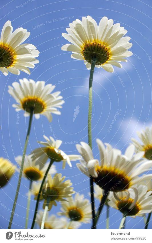 Endlich ist der Sommer da... :-) Himmel Blume Sommer Freude Wiese Blüte Garten Wachstum Schönes Wetter Gartenarbeit Margerite