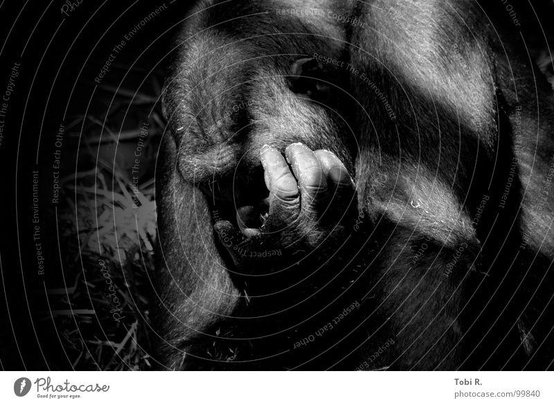 Mensch Affe Gorilla Affen Menschenaffen Tier Säugetier Natur Zoo gefangen Trauer Einsamkeit Gefühle Verbindung Fell Hand Finger schwarz weiß Low Key Licht grau