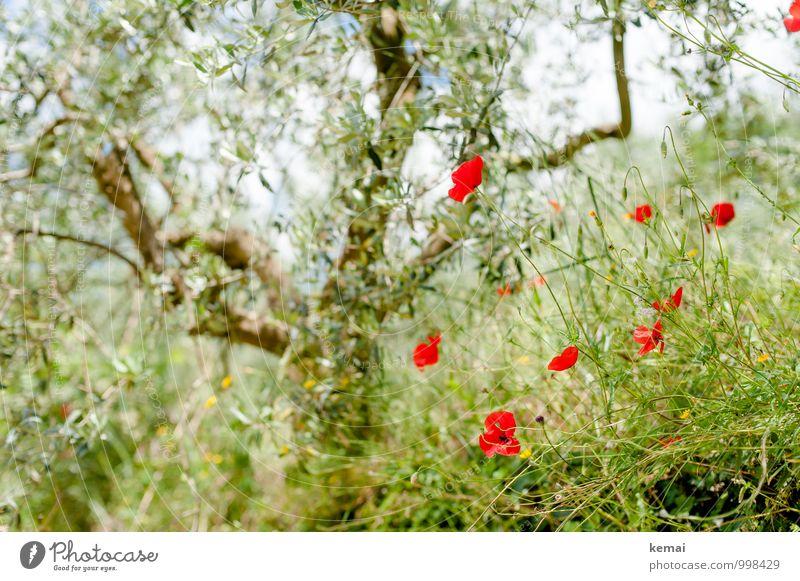 Oliven und Mohn Natur Ferien & Urlaub & Reisen Pflanze schön grün Sommer Baum rot Blume Blatt ruhig Umwelt Blüte Garten Wachstum Sträucher