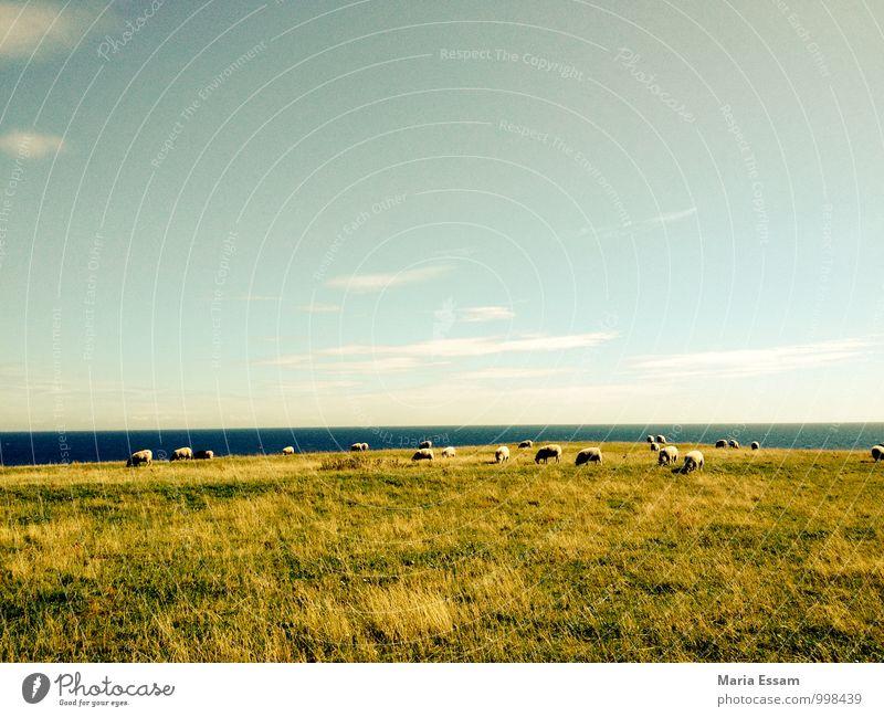 Får på vallen Himmel Natur blau grün Wasser Erholung Landschaft ruhig Tier Ferne Umwelt Wiese Gras Küste Freiheit Horizont