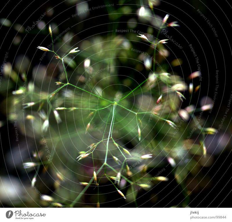 00:16 Gras grün Stengel Ähren gelb Wachstum Pflanze Frühling flattern schimmern Wiese Feld Pollen Rispen gold Lampe Natur Blühend Duft wedeln Wind Weide