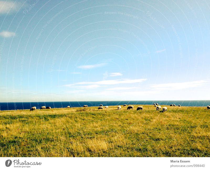 En Fårhagen Natur Landschaft Himmel Schönes Wetter Gras Wiese Küste Ostsee Meer Schweden Skandinavien Tier Nutztier Schaf Schafherde Herde blau grün