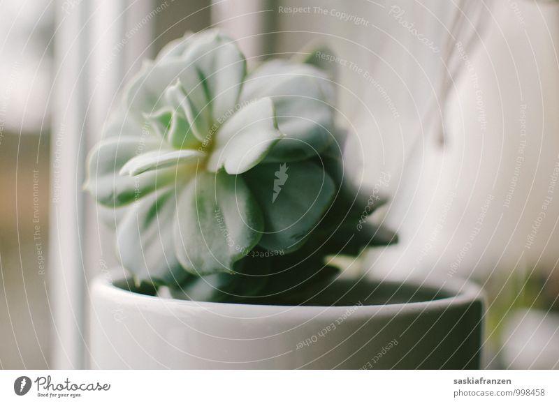 Soft light. Pflanze Grünpflanze exotisch hell Natur natürlich grau grün weiß rein Vergänglichkeit Sukkulenten Gedeckte Farben Innenaufnahme Menschenleer Tag
