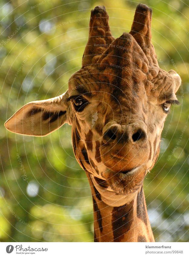 Ey was gugst DU? Blick streng Tier Zoo grün gelb braun Ernährung groß lang mono stereo Kopfhörer Tiergarten Safari Wien Schloss Schönbrunn langhalsig Aussehen