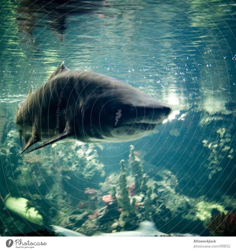 Linksabbieger Wasser alt Meer grau Angst groß Fisch Aktion Macht gefährlich bedrohlich tauchen Appetit & Hunger Unterwasseraufnahme böse Schifffahrt