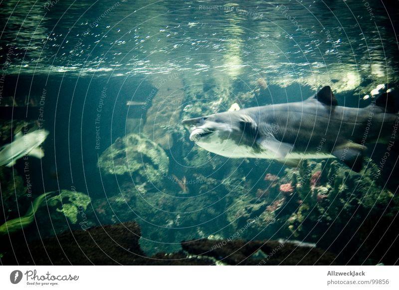 Gebissträger Fressen Haifisch grau Aktion Fleischfresser gefährlich frontal böse Appetit & Hunger Aquarium gekrümmt groß Meer Meerwasser Meeresfrüchte Mahlzeit