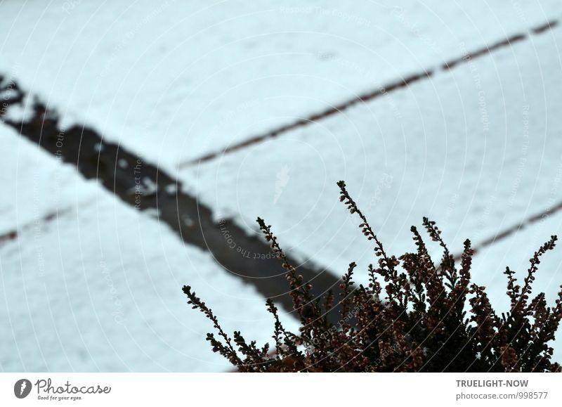 Schneeheide (erica carnea) 2 Natur Pflanze schön grün weiß Einsamkeit Blatt ruhig Winter dunkel Traurigkeit Gefühle Blüte grau Garten