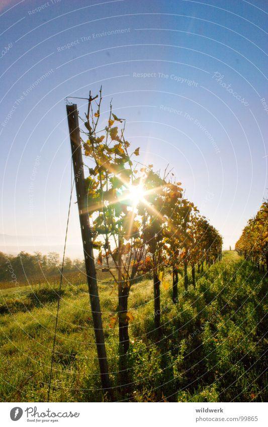 Von der Sonne verwöhnt blau grün Sonne Herbst Wein Alkohol Kaiserstuhl